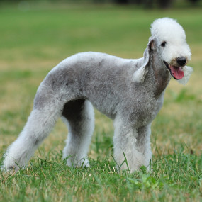 Bedlington Terrier Kachel 2