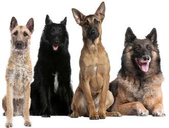Belgische Schäferhunde Wesen