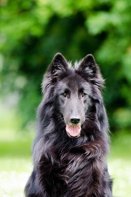 Belgischer Schäferhund Rassemerkmale
