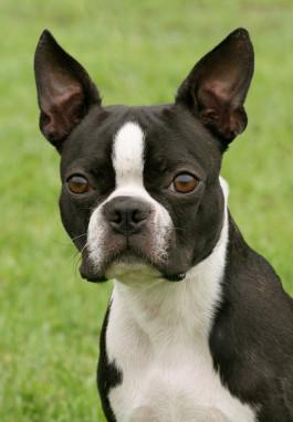Boston Terrier Rassemerkmale