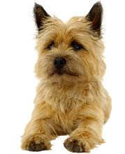 Cairn Terrier Wesen