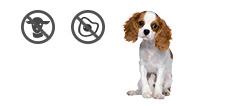 Cavalier King Charles Spaniel Junghund mit Allergien