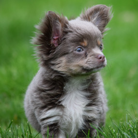 Kleine Hunderasse: Chihuahua