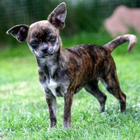 Chihuahua Kachel 3