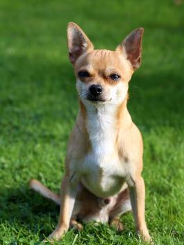 Chihuahua Rassemerkmale