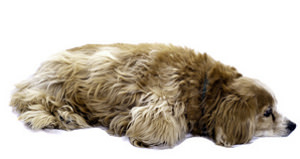 Hybridhund Cockapoo