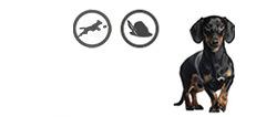 Dackel aktiver Jagdhund