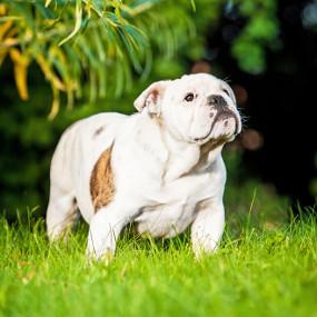 Englische Bulldogge Kachel 2