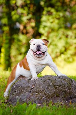 Englische Bulldogge Rassemerkmale