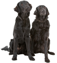 Flat Coated Retriever Wesen