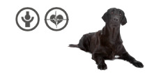 Flat Coated Retriever Rüde