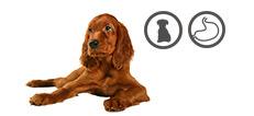 Irish Setter Junghund mit Verdauungsproblemen