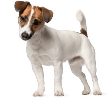 Jack Russell Terrier Wesen