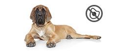 Mastiff Junghund mit Allergien