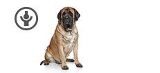 Mastiff Hündin mit Gelenkproblemen