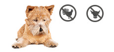 Norwich Terrier Senior mit Allergien
