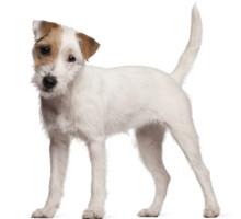 Parson Russell Terrier Wesen