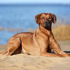 Große Hunderasse: Ridgeback