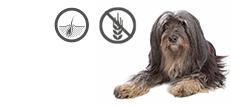 Tibet Terrier Rüde mit Hautproblemen und Allergien