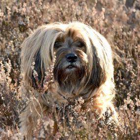 Tibet Terrier Kachel 1