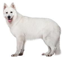 Weißer Schweizer Schäferhund Wesen