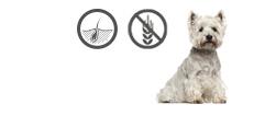 West Highland White Terrier mit Hautprobleme und Allergien