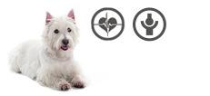 West Highland White Terrier Senior mit Herzproblemen und Arthrose