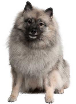 Wolfsspitz Wesen