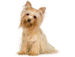 Yorkshire Terrier Wesen