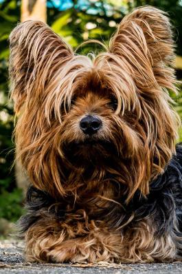 Yorkshire Terrier Rassemerkmale
