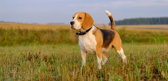 Beagle mit Übergewicht