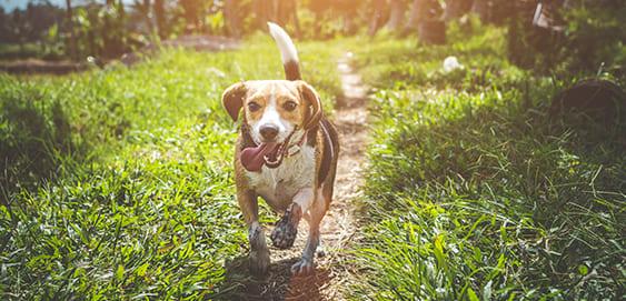 Der Beagle als kinderfreundliche Hunderasse
