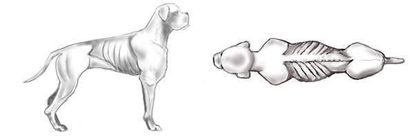 Starkes Untergewicht beim Hund