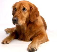 Hund mit Blähungen