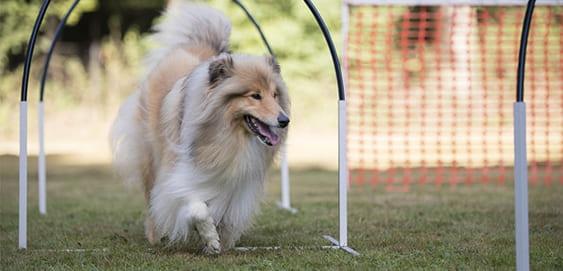 Hund läuft durch Hindernisparcour