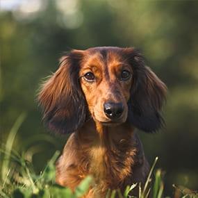Blasenentzündung bei Hunden