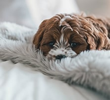Liegender Hund auf Decke