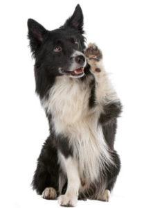 Hund mit erhobener Pfote