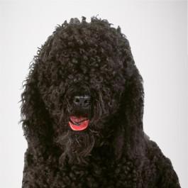 Französischer Waserhund