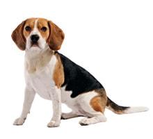 Beagle aktivitäten