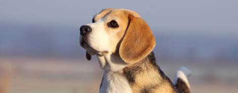 Beagle Profil