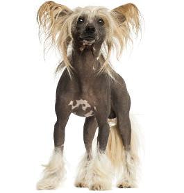 Chinesischen Schopfhund Rassenmerkmale