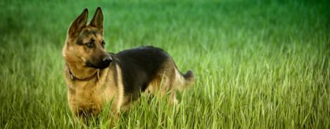 Deutscher Schäferhund Rasseportrait