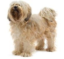 Wesen des Tibet Terriers