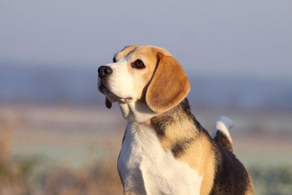 übergewichtiger Beagle