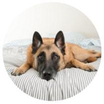 Hund liegt auf Bett