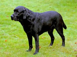 Futter Labrador Bewertung