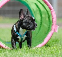 Französische Bulldogge im Parcours