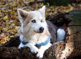 Husky Kyra