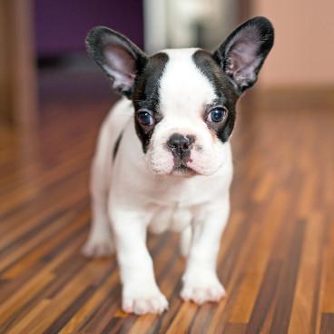 Französische Bulldogge Merkmale